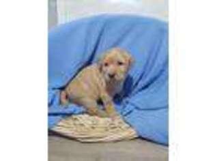 Puppyfinder com: Puppies puppies for sale near me in 52247