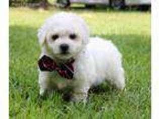 View Ad: Bichon Frise Puppy for Sale near Louisiana, Ruston