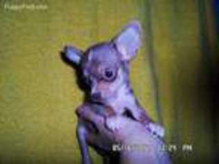 Puppyfindercom Chihuahua Puppies For Sale Near Me In Cleveland