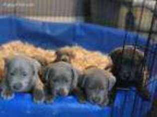 Labrador Retriever Puppy for sale in Stafford, KS, USA