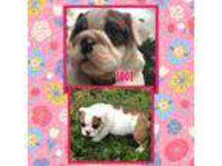 Bulldog Puppy for sale in Bonham, TX, USA