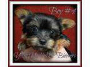 Yorkshire Terrier Puppy for sale in Yelm, WA, USA