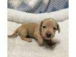 Puppyfindercom Dachshund Puppies For Sale Near Me In Ararat North