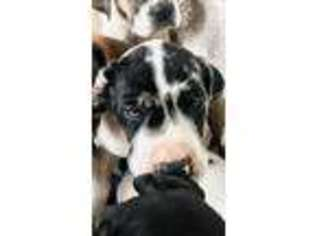View Ad Great Dane Puppy For Sale Arizona Tucson Usa