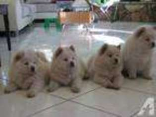 View Ad: Chow Chow Puppy for Sale, California, CHINO, USA