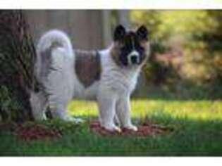 Akita Puppy for sale in Lebanon, PA, USA