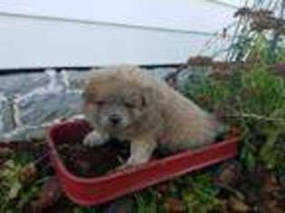 View Ad Chow Chow Puppy For Sale Pennsylvania Millmont Usa