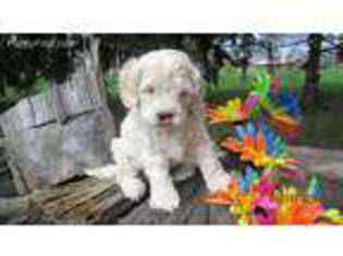 View Ad Cock A Poo Puppy For Sale Ohio Clayton Usa