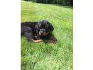 View Ad Rottweiler Puppy For Sale New Hampshire Pittsfield Usa