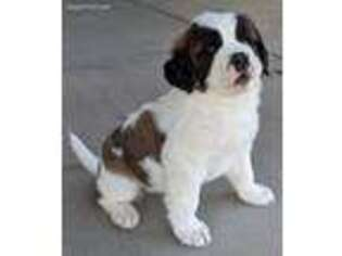 Saint Bernard Puppy for sale in Safford, AZ, USA