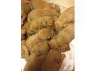 Vizsla Puppy For Sale near Tifton, GA, USA