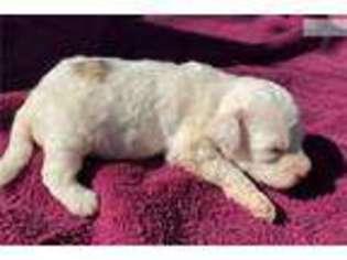 View Ad Bichon Frise Puppy For Sale Near Ohio Cincinnati Usa Adn