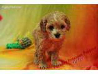 Puppyfindercom Cavapoo Puppies For Sale Near Me In Hickory North