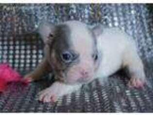 French Bulldog Puppy for sale in Flandreau, SD, USA