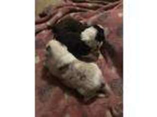 Border Collie Puppy for sale in Berryville, AR, USA