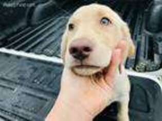 Labrador Retriever Puppy for sale in Tampa, FL, USA