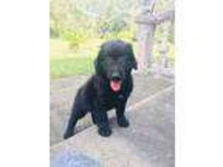 Labradoodle Puppy for sale in Brooksville, FL, USA