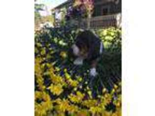 Basset Hound Puppy for sale in Charlton, MA, USA