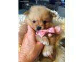 Puppyfindercom Pomeranian Puppies For Sale Near Me In Chuckey