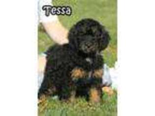 Bernese Mountain Dog Puppy for sale in Wellman, IA, USA
