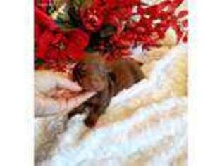 Dachshund Puppy for sale in Monroe, NC, USA