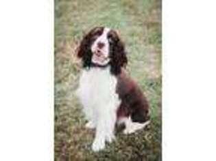 Puppyfinder com: English Springer Spaniel puppies puppies