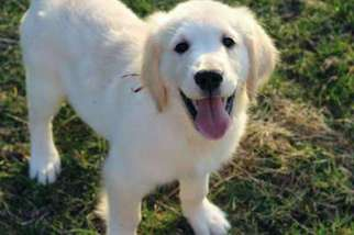 View Ad Golden Retriever Puppy For Sale Near Michigan Howard City
