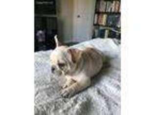French Bulldog Puppy For Sale near Charleston, SC, USA