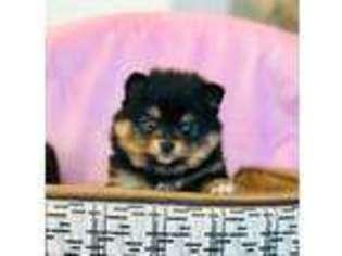 Pomeranian Puppy For Sale near Kennesaw, GA, USA