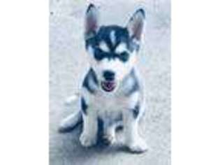 Puppyfinder com: Alaskan Klee Kai puppies puppies for sale near me