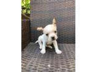 French Bulldog Puppy for sale in Henderson, NV, USA