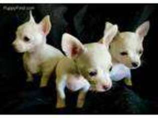 Chihuahua Puppy for sale in Lebanon, NJ, USA