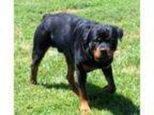 View Ad Rottweiler Puppy For Sale Maryland Middletown Usa