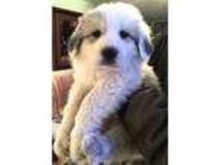 Great Pyrenees Puppy For Sale near Elk Creek, VA, USA