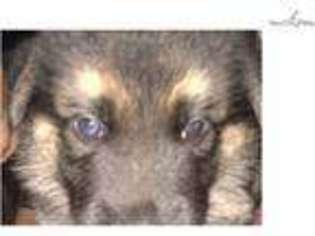 Leonberger Wolf Mix