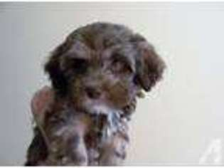 View Ad: Havanese Puppy for Sale near Illinois, CRYSTAL LAKE