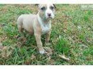 Puppyfinder com: American Staffordshire Terrier puppies