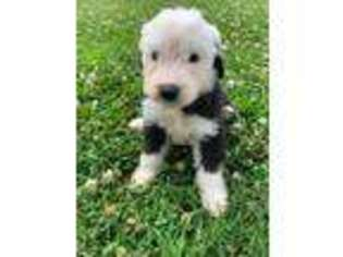 Puppyfinder com: Old English Sheepdog puppies puppies for sale near