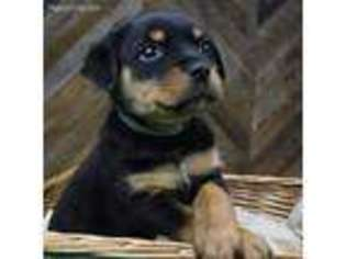 View Ad Rottweiler Puppy For Sale Maryland Sykesville Usa