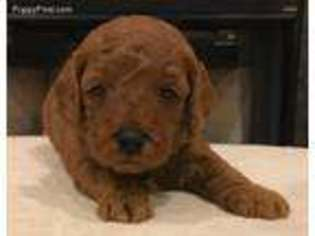 View Ad Goldendoodle Puppy For Sale New Jersey Berlin Usa