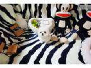 View Ad Bichon Frise Puppy For Sale Virginia Richmond Usa