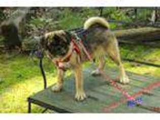 View Ad Pug Puppy For Sale North Carolina Hickory Usa