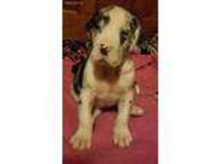 Great Dane Puppy for sale in North Branch, MI, USA