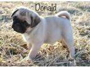 Pug Puppy for sale in Kenney, IL, USA