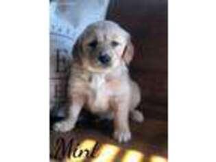 Golden Retriever Puppy for sale in Rogersville, MO, USA