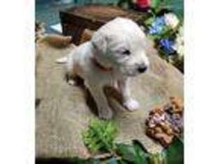 Golden Retriever Puppy for sale in Oscoda, MI, USA