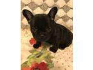 Puppyfinder com: French Bulldog puppies puppies for sale and French