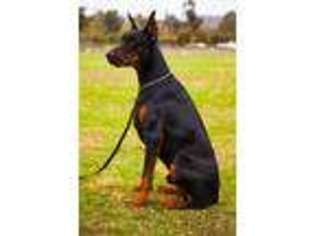 View Ad Doberman Pinscher Puppy For Sale Near California Murrieta Usa Adn 05104684808