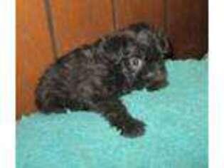 Affenpinscher Puppy for sale in Uniontown, KS, USA