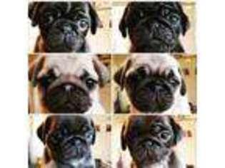 Puppyfindercom Puppies For Sale Near Me In M98nl M9 Manchester